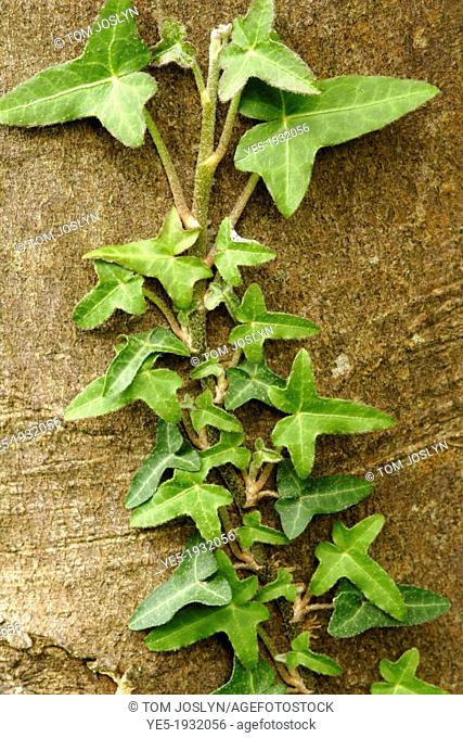 Ivy (Hedera helix) climbing over tree bark close up, England, UK