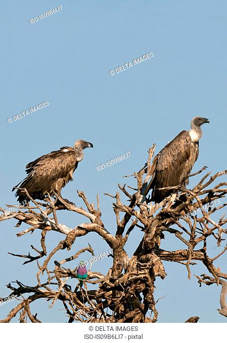 Ruppell's Griffon Vultures (Gyps rueppellii) and Lilac-breasted Roller (Caracias caudata), Masai Mara National Reserve, Kenya