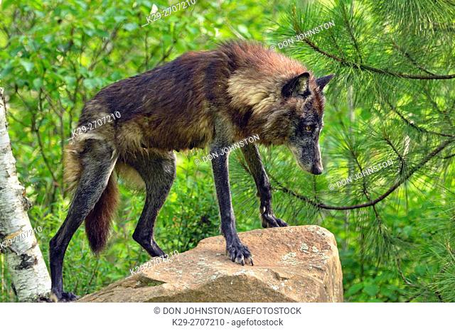 Gray wolf (Canis lupus} captive raised- Black morph adult, Minnesota Wildlife Connection, Sandstone, Minnesota, USA