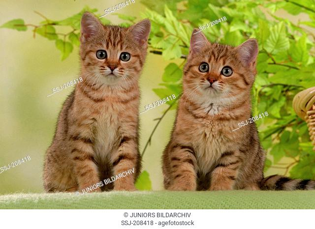 British Shorthair cat. Pair of kittens sitting in front of fresh twigs. Germany
