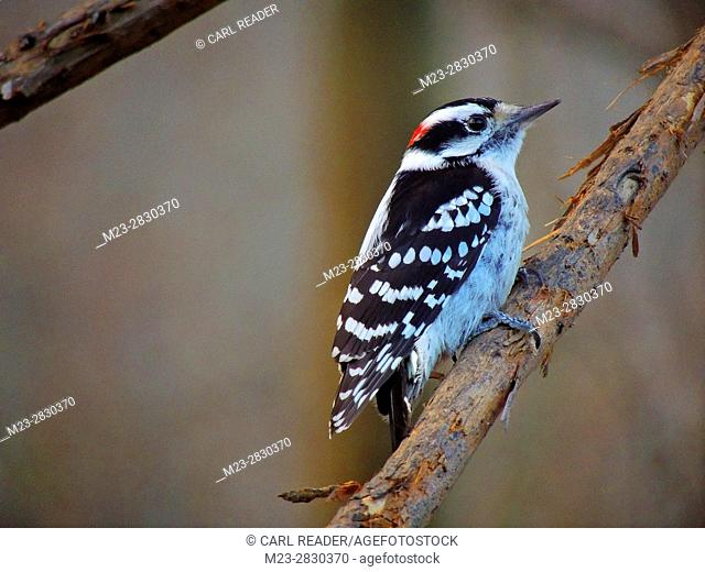 A male downy woodpecker, Picoides pubescens, poses on a branch, Pennsylvania, USA