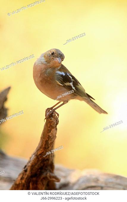 Chaffinch (Fringillia coelebs) in the Los Serranos region. Valencia