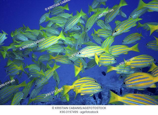 School of Bluestripe Snapper (Lutjanus kasmira), Indian Ocean, Maledives, South Asia