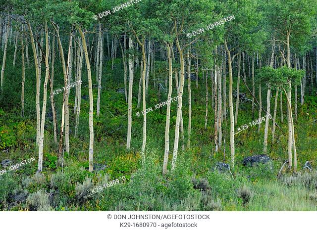 Aspen Grove, Beartooth Scenic Byway, WY, USA