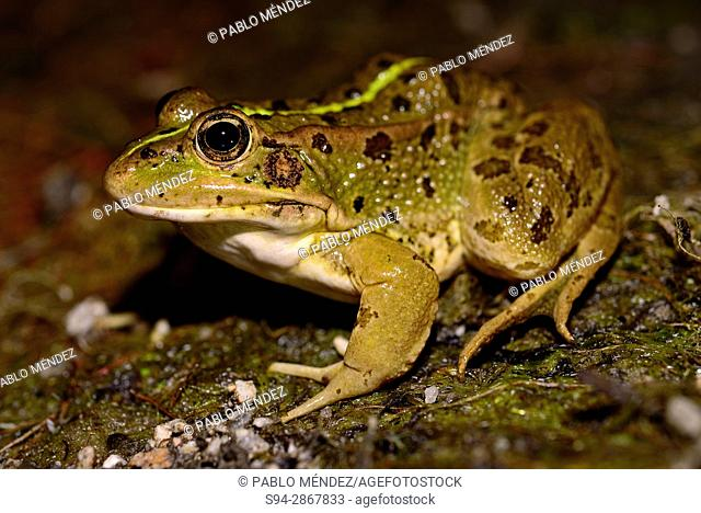Common frog (Pelophylax perezi) in the edge of a pond in Bustarviejo, Madrid, Spain