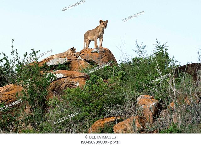 Two lion cubs (Panthera leo) on a Kopje known as Lion Rock in Lualenyi reserve, Tsavo, Kenya