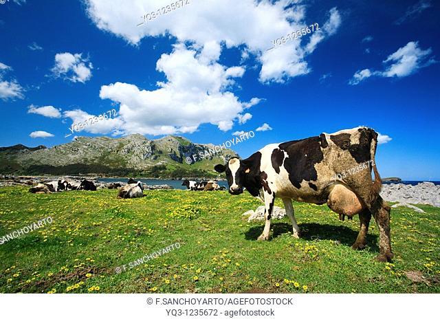 Cows grazing, El Najo, Islares, Castro Urdiales, Cantabria, Spain