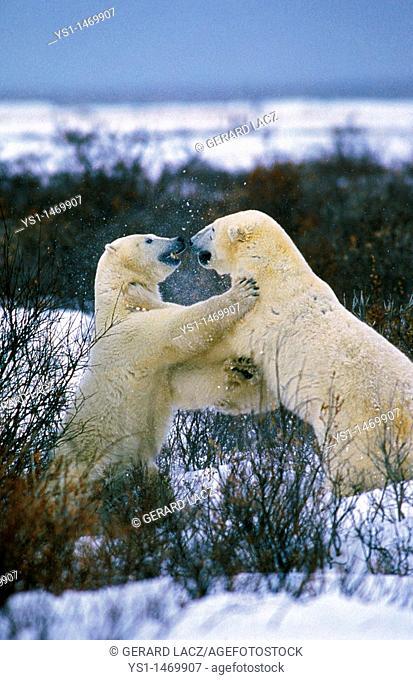 Polar Bear thalarctos maritimus, Adults fighting, Churchill in Manitoba, Canada