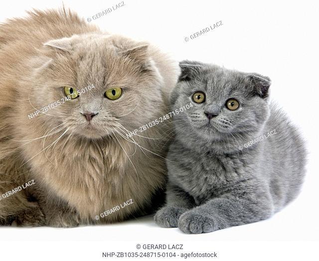 LILAC SELF HIGHLAND FOLD FEMALE AND BLUE SCOTTISH FOLD KITTEN