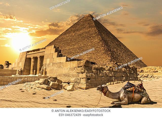 A camel near the Mastaba of Seshemnefer IV and the Pyramid of Khufu, Giza, Egypt