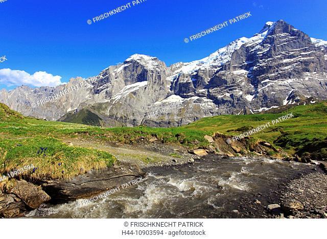 Alp, alps, flora, view, brook, mountain, mountain brook, mountains, mountain spring, mountain massif, Bern, Bernese Oberland, flowers, ranunculus, rock face