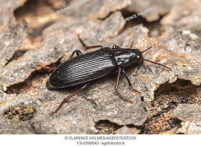 A False Darkling Beetle (Melandrya striata) perches on the bark of a fallen dead tree