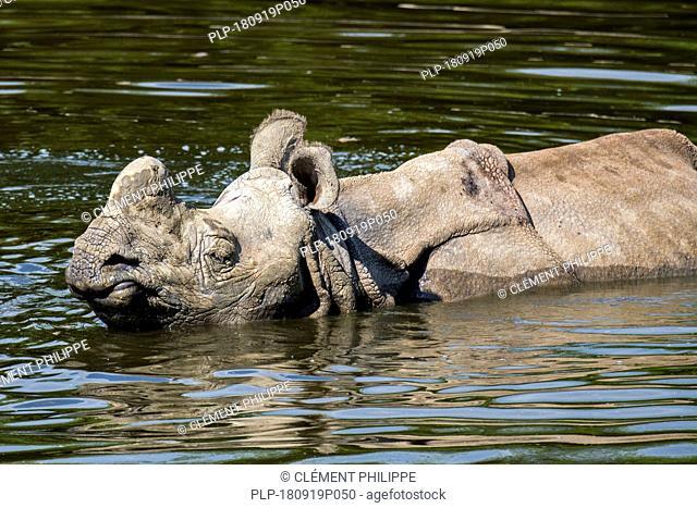 Indian rhinoceros (Rhinoceros unicornis) bathing in pond