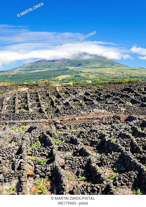 Traditional viniculture near Lajido, traditional wine growing on Pico is listed as UNESCO world heritage. Pico Island, an island in the Azores (Ilhas dos...