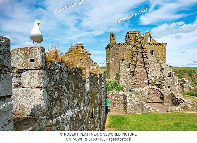 United Kingdom, Scotland, Aberdeenshire, Stonehaven, Seagull in Dunnoattar Castle, Dunnottar Castle, is a castle ruin, hiding the Scottish crown jewels during...
