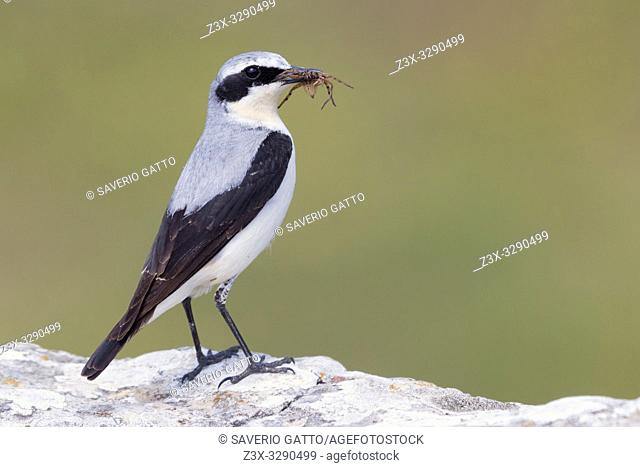 Northern Wheatear (Oenanthe oenanthe), adult male carrying a spider in its bill