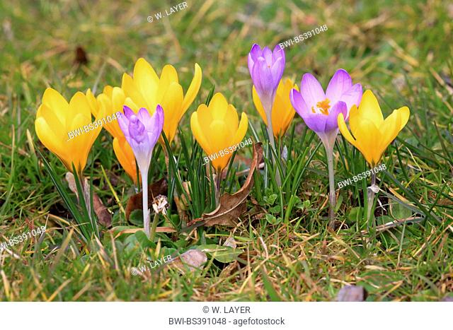 yellow crocus (Crocus chrysanthus), blooming in a meadow together in winter aconite, Germany