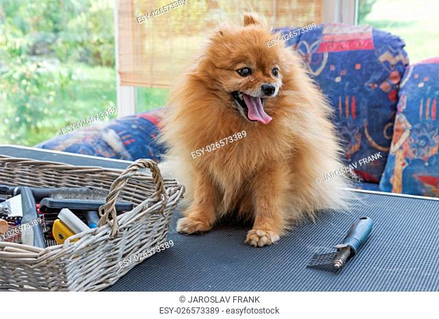 Alone Pomeranian German Spitz dog is standing on the grooming table. Grooming comb and the other equipment are lying on the table