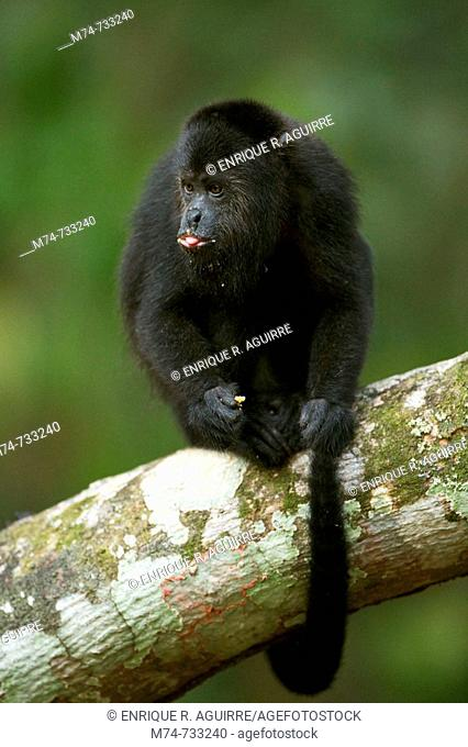Guatemalan Black Howler Alouatta pigra, Community Baboon Sanctuary, Bermudian Landing, Belize