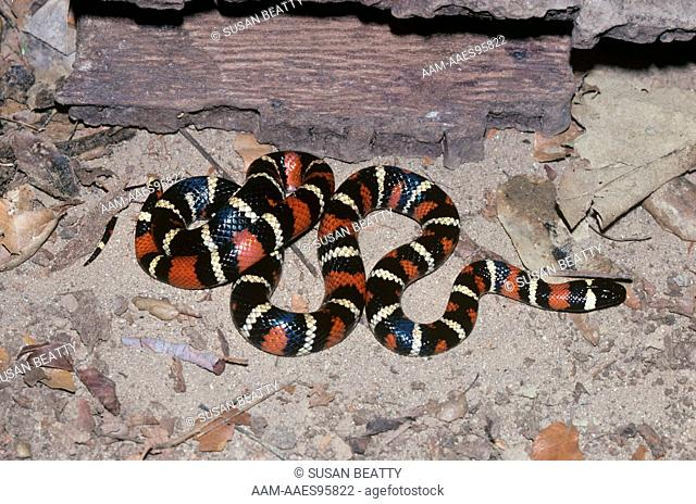 California Mountain Kingsnake (Lampropeltis zonata) Topanga Canyon/CA