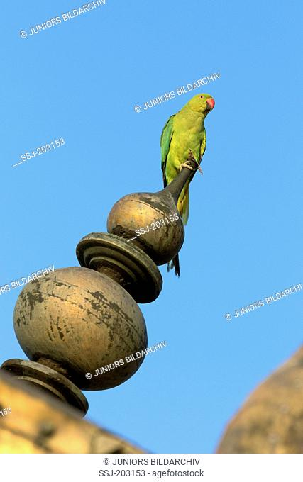 Rose-ringed Parakeet, Ring-necked Parakeet (Psittacula krameri) sitting on the roof of the Red Fort, Agra, Uttar Pradesh, India