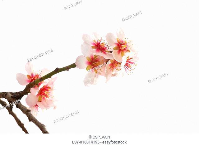 Almond tree pink flowers