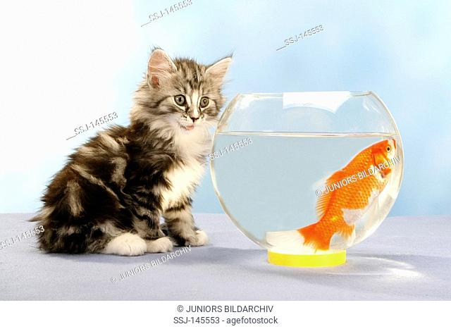 Norwegian forest cat - kitten sitting in front of glass with goldfish