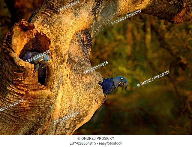 Blue parrot Hyacinth Macaw in nest tree in Brazil, Pantanal