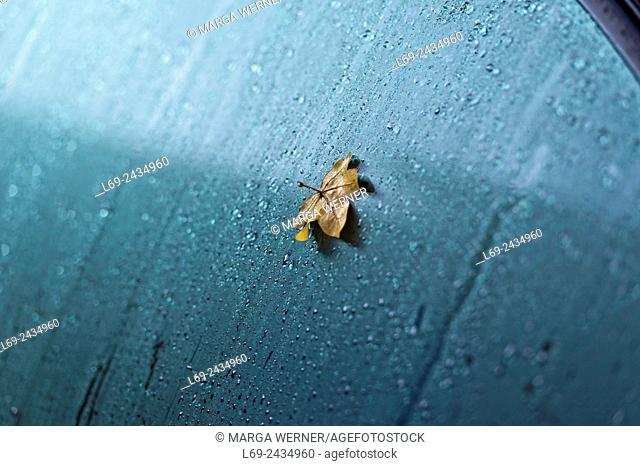 Leaf of a field maple on a car's window in autumn, North Germany, Europe