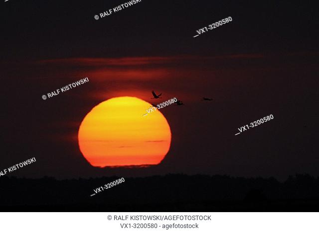 Common Cranes ( Grus grus ), silhouettes of a flock, flying in front of a beautiful sunset / red sky, autumn migration