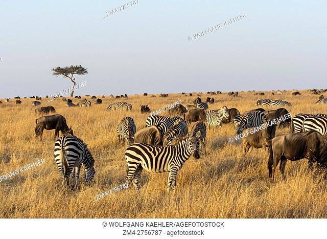 Wildebeests, also called gnus or wildebai, and Plains zebras (Equus quagga, formerly Equus burchellii) also known as the common zebra or Burchell's zebra...