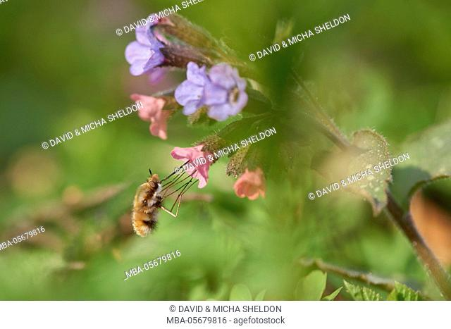large bee fly, Bombylius major, lungwort, Pulmonaria officinalis, blossoms, Close up