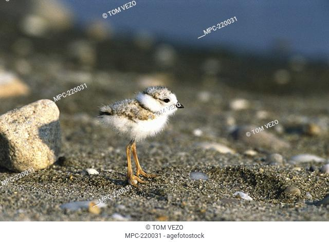 Piping Plover Charadrius melodus, portrait of chick, Long Island, New York