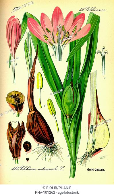 Meadow saffron Colchicum autumnale also known as the autumn crocus. From Flora of Germany, Austria and Switzerland 1885, O. W. Thomé