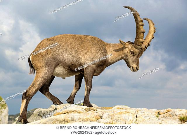 Alpine Ibex (Capra ibex), adult male standing on rock, Niederhorn, Bernese Oberland, Switzerland
