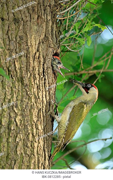European Green Woodpecker (Picus viridis) feeding young at nest in tree hole, Germany
