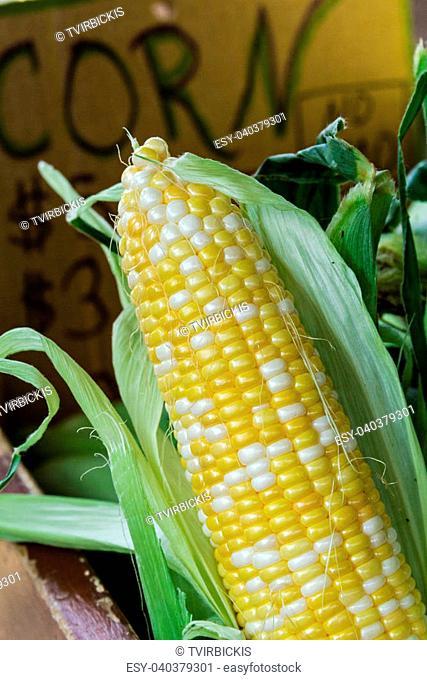 Fresh locally grown corn on display at local farmers market