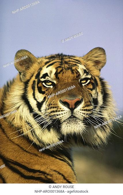 BENGAL TIGER Panthera tigris tigris head detail