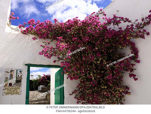 A gorgeous Bougainvillea flower grows on the wall of a restaurant building next to a catchy toilet sign near Yaiza on the Canary Island Lanzarote, Spain
