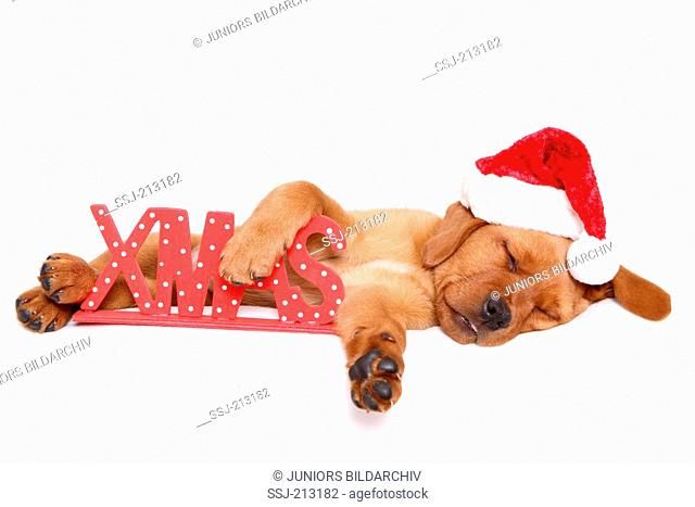 Labrador Retriever. Puppy (8 weeks old) wearing Santa Claus hat, sleeping next to the letters XMAS. Studio picture against a white background. Germany