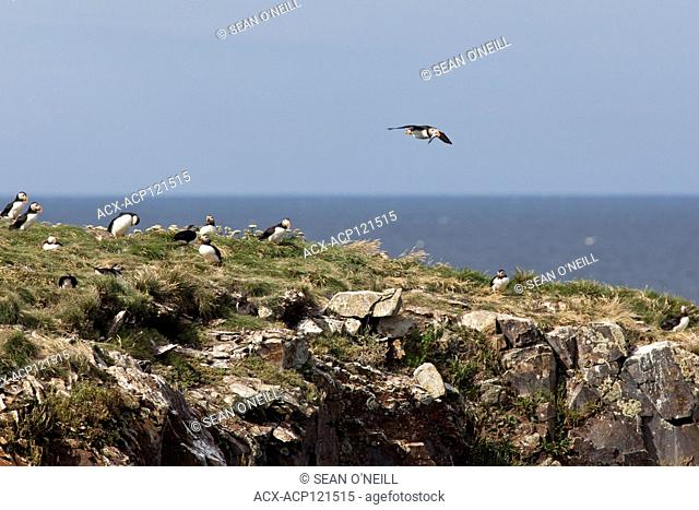 Atlantic puffin in flight with fish in beak in Maberly,Newfoundland, Canada