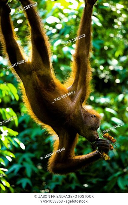 Sabah Malaysia, Borneo, Sepilok  Orang Utan eating fruit whilst hanging from a rope in the Sepilok Orangutan Rehabilitation Centre