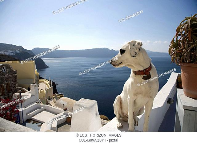 Dog looking over its shoulder at sea view, Oia, Santorini, Cyclades, Greece