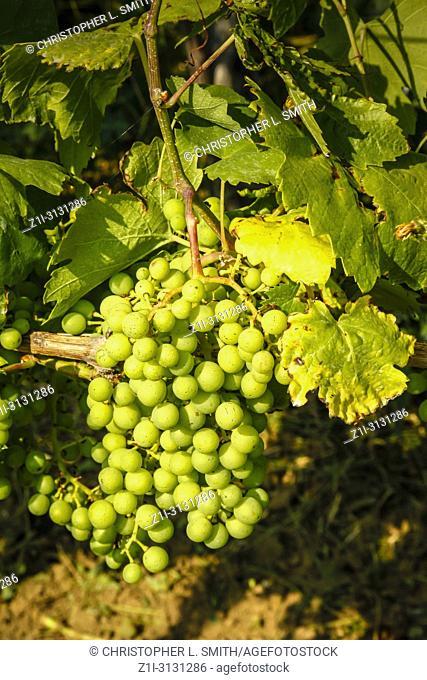 Winery in the pretty countryside near Vrbnik on the Croatian island of Krk