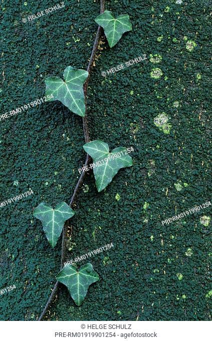 Ivy on European Beech trunk , Hedera helix, Fagus sylvatica