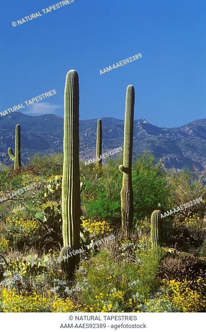 Saguaro & Brittlebush - Saguaro NM, Arizona