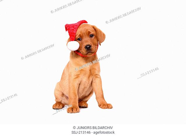 Labrador Retriever. Puppy (8 weeks old) sitting, wearing Santa Claus hat. Studio picture against a white background. Germany
