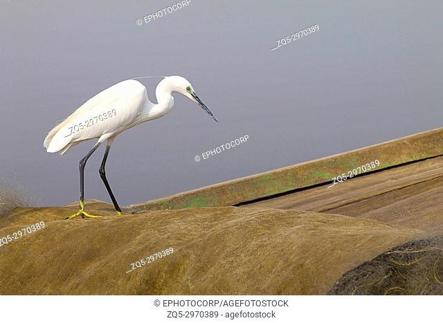 Little Egret, Egretta garzetta Bhigwan, Maharashtra, India