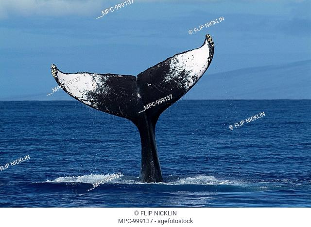 Humpback Whale Megaptera novaeangliae tail lob, Humpback Whale National Marine Sanctuary, Maui, Hawaii  Notice must accompany publication Photo obtained under N...