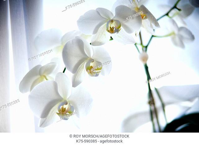 Orchid, phalaeonopsis